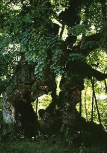 Wolframslinde im Bayerischen Wald